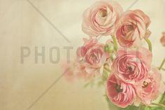 Pink Ranunculus - Fototapeten & Tapeten - Photowall