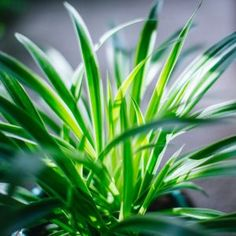 Snake Plant Care Guide   Fiddle & Thorn All Plants, Indoor Plants, House Plants, Spider Plant Propagation, Peace Lily Care, Ferns Care, Snake Plant Care, Rubber Plant, Lower Lights