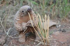 This baby pangolin wants to talk to you about something important. #Cute