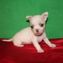 Chihuahua Puppy Chihuahua Puppies Puppies For Sale Chihuahua