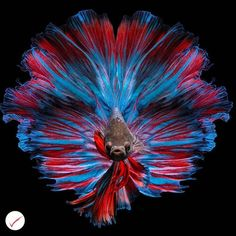 how to take care of betta fish - Expert Aquariums Betta Fish Types, Betta Fish Tank, Beta Fish, Beta Beta, Betta Aquarium, Pretty Fish, Beautiful Fish, Beautiful Cats, Fish Fin