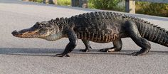 alligator walking - Google Search