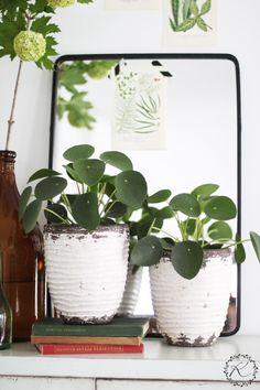 Yksi tämän hetken trendikkäimmistä viherkasveista on ehdottomasti kilpipiilea ( Pilea peperomioides ). En yhtään ihmettele, että siitä o...
