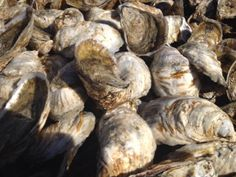 Some of our oysters pre-harvest.
