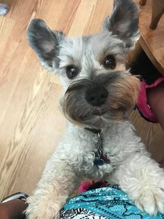Ranked as one of the most popular dog breeds in the world, the Miniature Schnauzer is a cute little square faced furry coat. It is among the top twenty favorite Miniature Schnauzer Puppies, Schnauzer Puppy, Schnauzers, Cute Puppies, Cute Dogs, Dogs And Puppies, Doggies, Standard Schnauzer, Silly Dogs