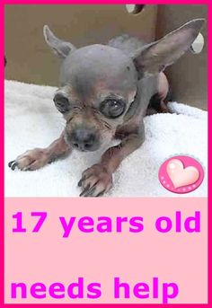 SUPER URGENT TONY – A1036045 I am an unaltered male, gray Chihuahua – Smooth Coated mix. The shelter staff think I am about 17 years old. I weigh 2 pounds. I have been at the shelter since May 12, 2015. He is the tiniest chi I have seen in a long time! He is sweet boy that will need some follow up vet care. Came in as stray. http://nycdogs.urgentpodr.org/tony-a1036045/