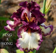 TB Iris germanica 'Sing a Song' (Schreiner, 2008)