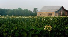 All sizes | Tobacco in Bloom | Flickr - Photo Sharing!