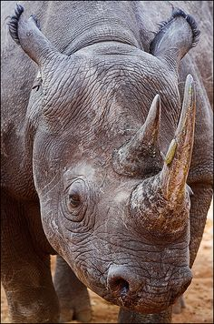 Just a little bit closer - black rhino... #rhinoceros #rhino #topanimals