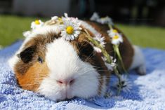 The only Registered charity supporting guinea pigs, in Hunsbury, Northampton. Registered Charity Number: 1168004 Providing life-enhancing care for Guinea P Hamsters, Rodents, Animals Of The World, Animals And Pets, Baby Animals, Funny Animals, Cute Animals, Guniea Pig, Baby Guinea Pigs