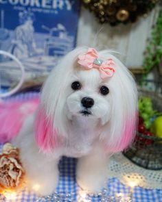 シピちゃん ミング#トリミングサロン#可愛い#プードル#カット#トリミング#マルチーズ#トリマー#セット#可愛い#チワワ#ブログ#トリミングサロン#カフェ#青空#ドッグサロン#犬#愛犬#いぬ#ヨーキー#シュナウザー#ラーメン#ランチ#芝犬#犬バカ部#青空