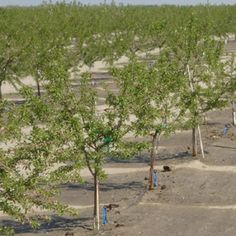 Por sus propiedades, la producción de almendra tiene buena venta. Es fácil mecanizar su cultivo e incrementar su valor añadido. Presenta riesgos de susceptibilidad a heladas y problemas en la fecundación, se debe seleccionar la variedad más adecuada y emplear colmenas.