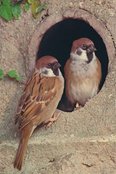 Two tree Sparrows