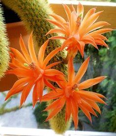 Hildewintera aureispina - Golden Rat Tailed Cactus - 25 Fresh Seeds
