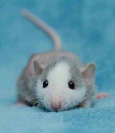 such cuteness, rat