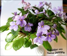 Rob's Miriwinni by R. Robinson (8457) 05/23/1996 Semiminiature trailer. Blossom: Single chimera pink pansy/blue stripe, fantasy. Foliage: Medium green, quilted, serrated. (FC2)  #avsa  #africanviolet