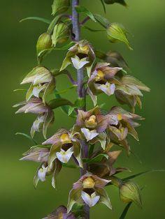 Helleborine Orchid (Epipactis helleborine)