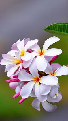 Plumeria - also known as Frangipani - beautiful flowers and amazing scent - my favourite! Exotic Flowers, Tropical Flowers, Amazing Flowers, My Flower, Beautiful Flowers, Hawaiian Flowers, White Flowers, Blooming Flowers, Colorful Roses