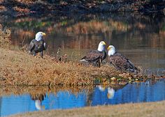 Bald Eagles along Eagle Watch Nature Trail, Gentry, Arkansas. This half-mile trail draws birdwatchers from all over the region. Over 144 species of birds can be observed here including Eagles. It's not uncommon to see many Eagles together here in the winter months. The trail is also a  protected wildlife habitat so many types of wildlife call this place home. It's a favorite of photographers and nature lovers.  Photo by Terry Stanfill.