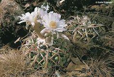 Discocactus crassispinus