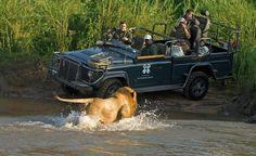 Lion & Land Rover