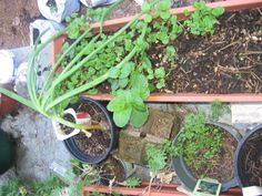 2268 My #seedling table #mint #onion overwintered #carrots and #kale