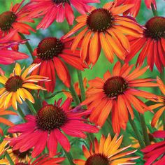 Hot Summer Coneflower--Best for the money - beautiful color Perennials, heat, drought, pests & diseases no bother - Fall & Winter provides seedheads for birds.  Mixture of gorgeous colors, golden-orange, reddish tips, colors change as flowers mature.  Bloom midsummer to Fall.  Deer Resistant!!!