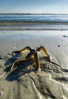 ~•º•~•º•★•º•Starfish walking back towards the water•º•★•º•~•º•~
