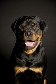"Xander, Christina Ulberg's Rottweiler, is one of about 100 dogs that will participate in the International All Breend Canine Association dog show this weekend. ""He's a snuggle bunny,"" Ulberg said. ""He's very calm and collected."""