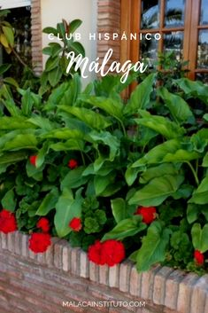 Calas y geranios, justo en la entrada principal de Malaca Instituto. Mini Gym, Bar Restaurant, Swimming Pools, Plants, Gardens, Swiming Pool, Main Entrance, Geraniums, Calla Lilies