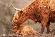 Highland Cow and Calf. Isle of Skye. Scotland.
