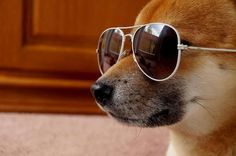 Aviator Shiba Inu Shibu Inu, Dog Varieties, Fluffy Dogs, Cute Little Animals, Shiba, Dog Names, Viera, Dog Art, Dog Pictures