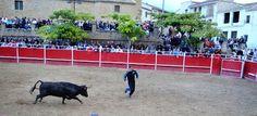 Santacara: Vacas Merino - Fiestas de Santa Eufemia 2016 (4)