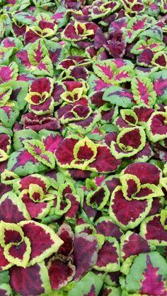 Coleus Fairway Mix 256 Live Plants