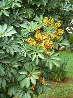 Schefflera arboricola - Wikipedia