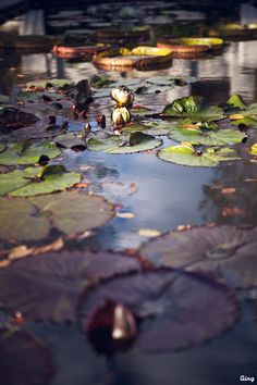 Water lilies by Qing Zhao on 500px