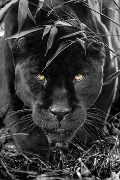 Black Jaguar - Colin Langford