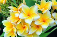 Bunga Kamboja http://flowersandbunga.blogspot.com/2014/03/bunga-kamboja.html