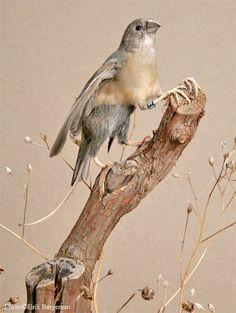 Taxidermy - Gryfinch by *Illahie on deviantART