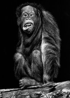 Melissa Helene Fine Arts and Photography   Blog: Orangutan, You Lookin' At Me   Endangered Species Series www.melissahelene.com #endangeredspecies #orangutan #savetheaninals