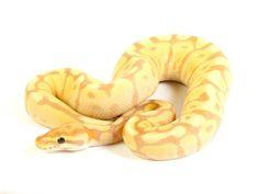 Banana Spider Mojave - Morph List - World of Ball Pythons