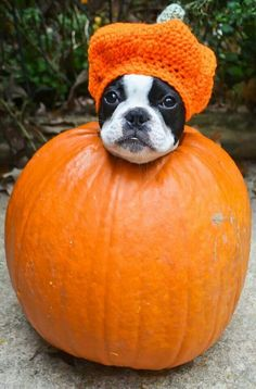 Happy Halloween ,  boston terrier