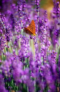 Butterfly in orange among purple...