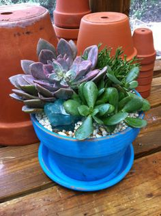 Turquoise clay pot succulents!