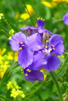 Spiderwort, Texas wildflower Texas Animals, Texas Plants, Texas Ranch, Landscaping Plants, Garden Plants, South Texas, Purple Garden, Growing Flowers, Tattoo Flowers