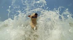 Jonesy, The Mexican English Bull Terrier and his buddy Cholo, The Mexican Xoloscuintle play in the surf at a quiet beach in Trocones Mexico. English Bull Terriers, Beach, Dogs, Pictures, Animals, Mexico, Play, Google Search, Funny