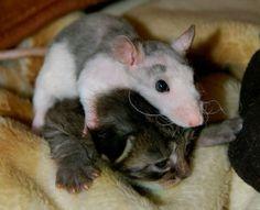 """Noch ist """"Ratti"""" stärker..."""