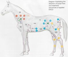 Equine lymph neck diagram wiring diagram electricity basics 101 equine acupressure chart equine acupressure treatments build rh pinterest com chest lymph nodes diagram lymph node locations diagram ccuart Choice Image
