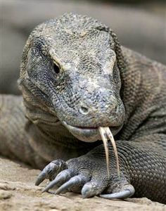 Komodo dragon - maybe not the cutest kid on the Endangered species block, but Endangered all the same, and valuable as the largest lizard still alive on earth.
