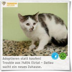 """Trouble und seine Brüder warten schon länger im Tierheim Dallau.   http://www.tierheimhelden.de/katze/tierheim-dallau/ekh/trouble/8305-1/  Er und seine Brüder sind zwar noch recht scheu, ihnen sind Berührungen aber nicht unangenehm. Wie viele andere scheue Katzen werden sie sicher in einer ruhigeren Umgebung bei """"ihrer"""" Familie auftauen."""